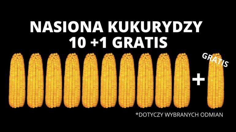 kukurydza pułtusk